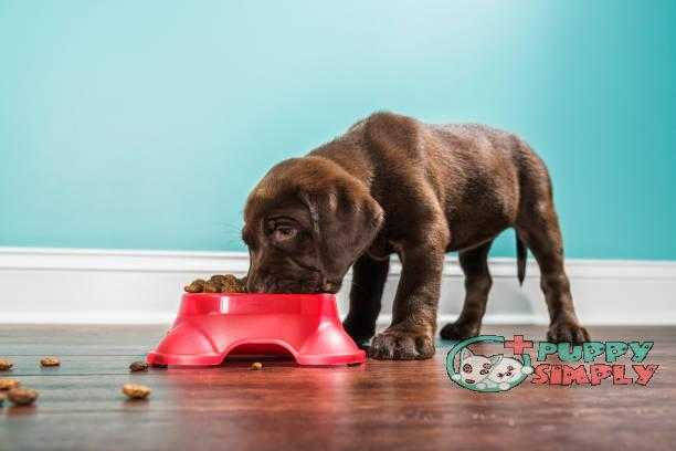A Chocolate Labrador puppy eating from a pet dish 7 weeks old best dog food for allergies