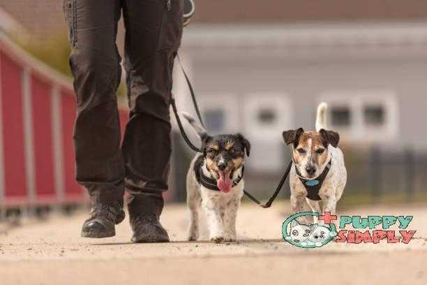 Dog handler walks with her little dog on a road - two cute obedient Jack Russell Terrier doggy best dog harness to stop pulling
