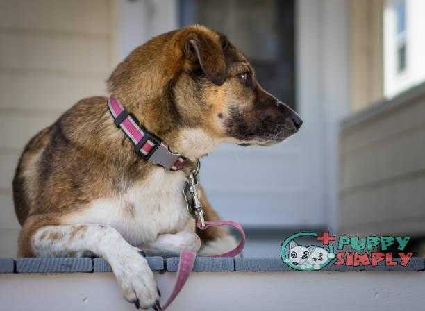 Dog on porch watching best dog harnesses to stop pulling