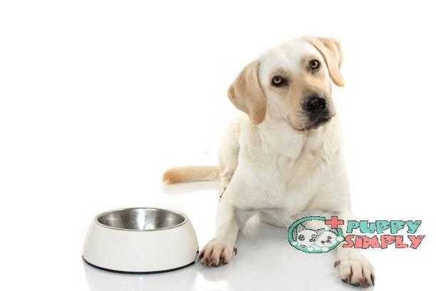 HUNGRY MIXEDBRED OF MASTIFF AND LABRADOR RETREIVER EATING FOOD IN A WHITE BOWL. ISOLATED ON WHITE BACKGROUND. STUDIO SHOT. COPY SPACE best dog food for allergies