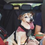 Jack Russell Terrier dog traveling in a car with travel safety harness buckled up best dog harnesses to stop pulling