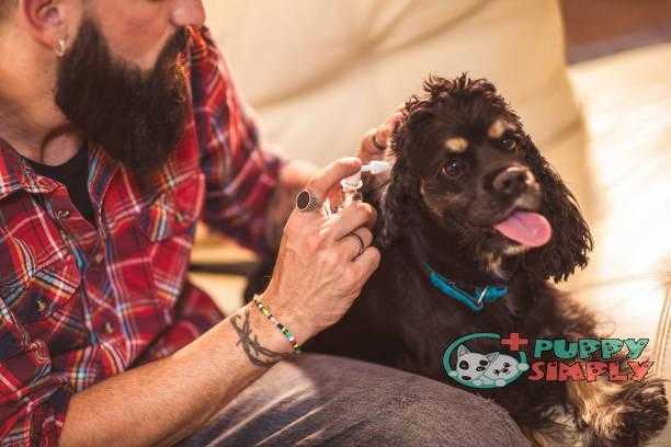 Male hand cleaning ear of dog at home how to clean dogs ears