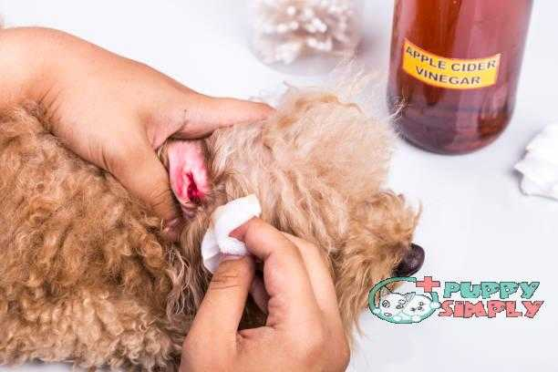 Person cleaning inflamed ear of dog with apple cider vinegar how to clean dogs ears
