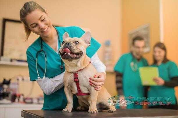 Young French Bulldog on the visit to the vet. best brushes for shedding dogs