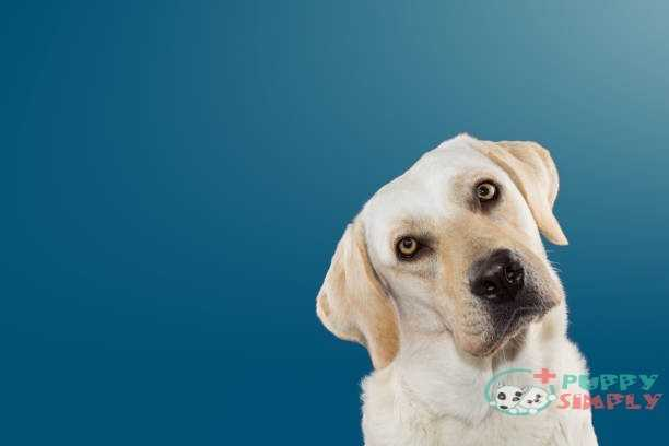 DOG THINKING AND TILTING THE HEAD SIDE AND LOOKING AT CAMERA. ISOLATED AGAINST BLUE COLORED BACKGROUND. do dogs get hiccups