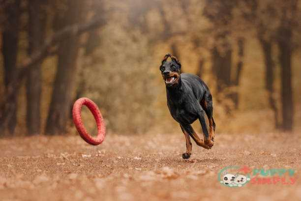 Doberman dog in autumn in the forest Softfrisbees for dogs Advantages And Disadvantages