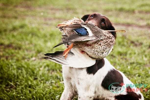Dog with Hunt prey in the mouth Duck meats for dogs