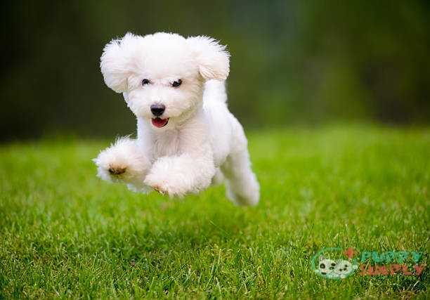 Happy Dog Fast Running On Lawn What Causes The Hiccup Process Of Dogs?