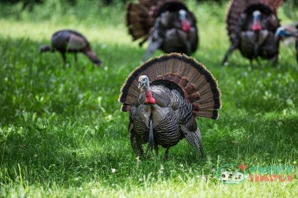 Male Wild Turkey in Foreground Close-Up with Turkey in Background Turkey meats for dogs