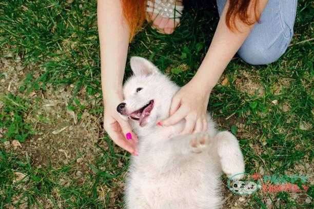 little white puppy husky 2 months old lying on the grass in park and biting female hands of owner. summer dog walking. - baby dog teeth s and pictures When Do Dogs Start Losing Their Baby Teeth?