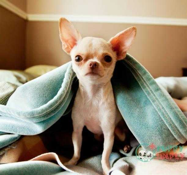 cute little chihuahua looks at camera from under blankets - chihuahua s and pictures Chihuahua