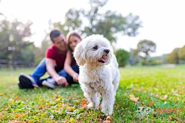 he's more than a pet. he's family - maltese s and pictures Maltese