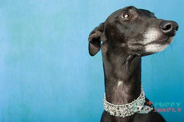 portrait of a whippet - whippet s and pictures Whippet