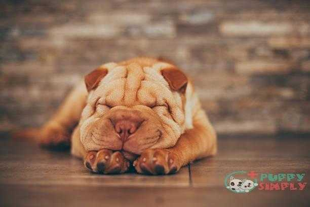shar pei puppy sleeping on the floor - shar pei s and pictures Shar Pei