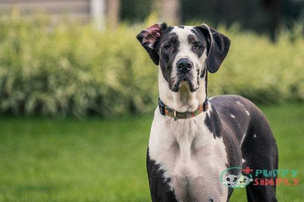 black and white great dane staring at camera - great dane stock pictures royalty-free photos & images Great Dane