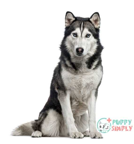 siberian husky sitting 4 years old isolated on white - siberian husky stock pictures royalty-free photos & images Siberian Husky for single man