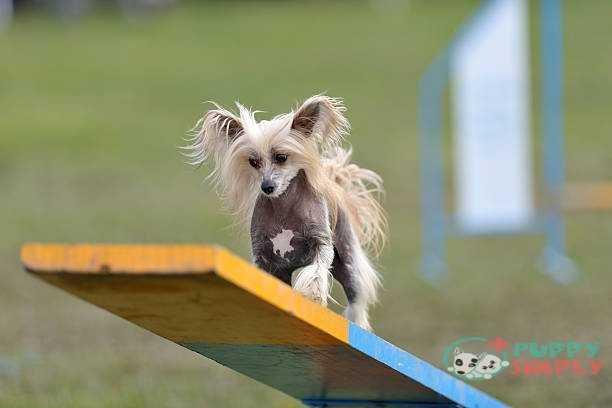 Chinese Crested toy dog breeds