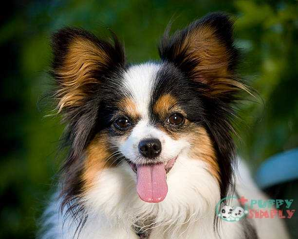 Papillon toy dog breeds