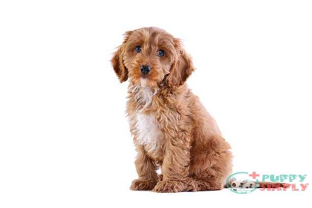 Cockapoo Mixed Breed