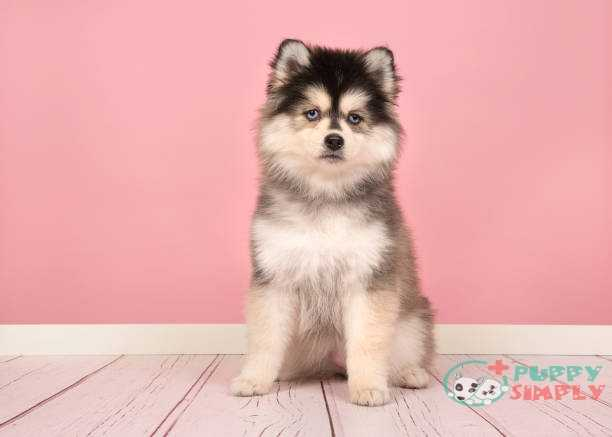Pomsky mixed dogs breeds