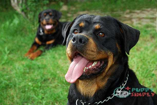 Rottweiler Doberman Mixed Breed