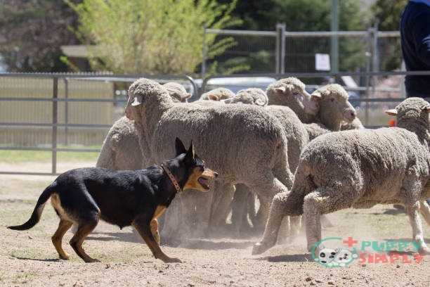 Australian Cattle farm dog