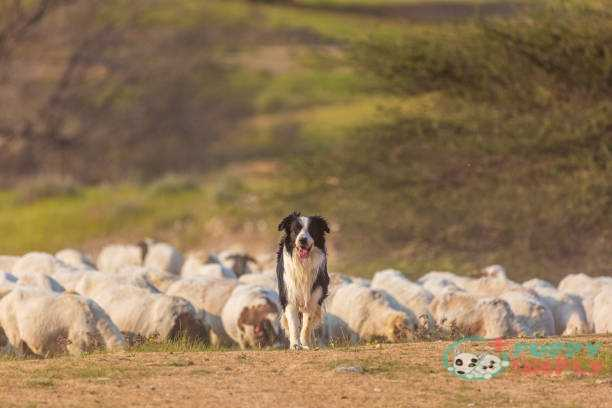 Border Collie farm dog
