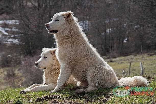 Marrema Sheepdog farm dog
