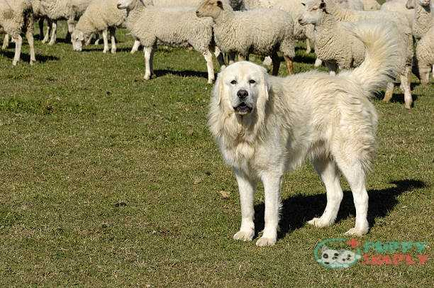 The Great Pyrenees farm dog
