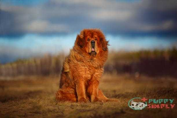 Tibetan Mastiff farm dog