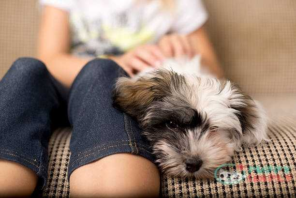 small lap dog Havanese