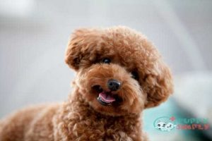 small lap dog Toy Poodle