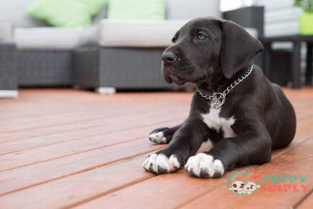 Great Dane Puppy Cost