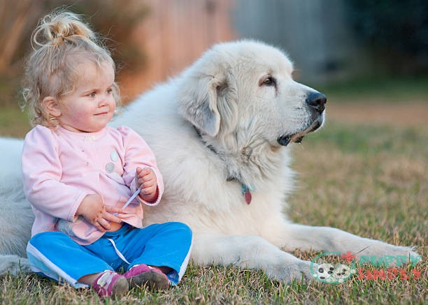 Great Pyrenees outside dog