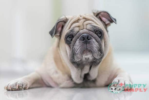 What Changes Do Pugs Undergo as They Get Older?