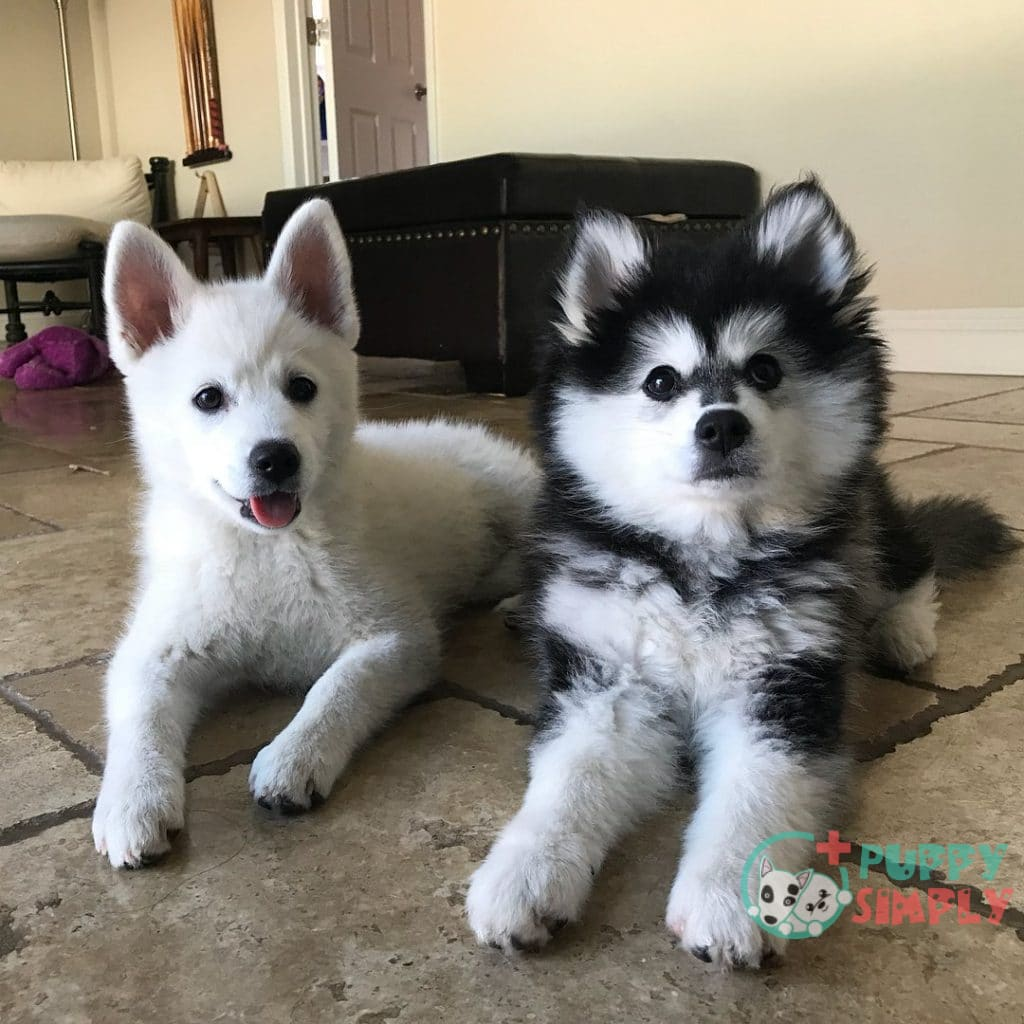 how much do pomeranian husky mix cost
